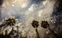 California palms reaching skyward