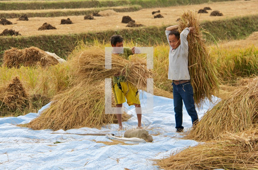 men carrying bundles of hay