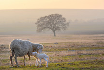 mother sheep with her lambs