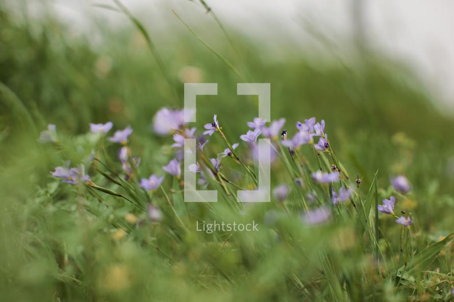 Purple flowers in a green grass field