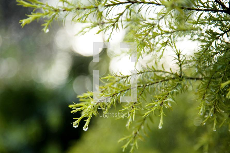Dripping pine tree branch