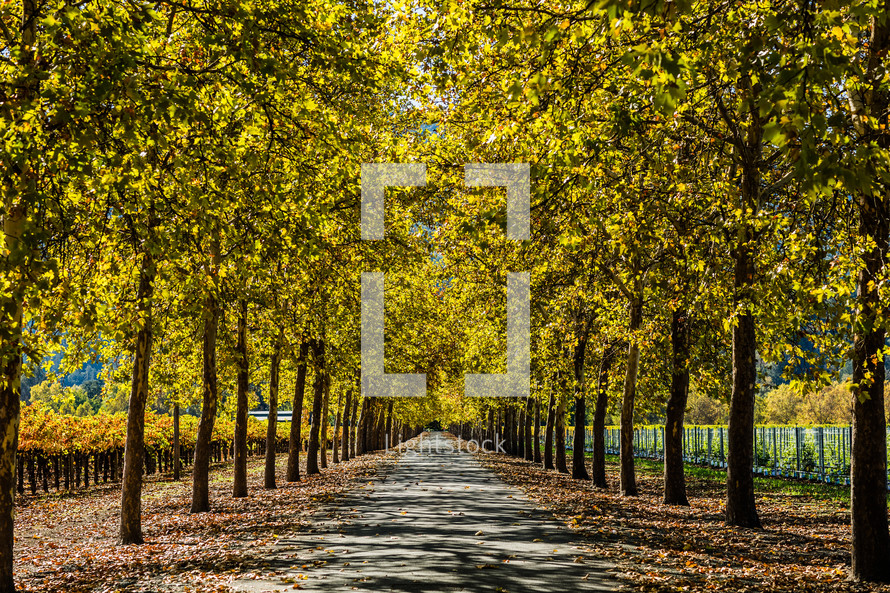 Park trail, tree lined covered driveway vineyard winery napa valley road fall leaves
