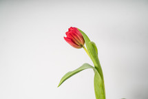 single red tulip on white