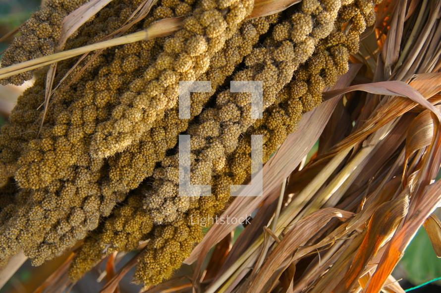 dried stalks of plant. Autumn, fall, season, harvest, seeds.