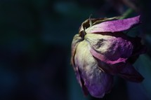 wilted rose petals