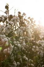 cotton plants