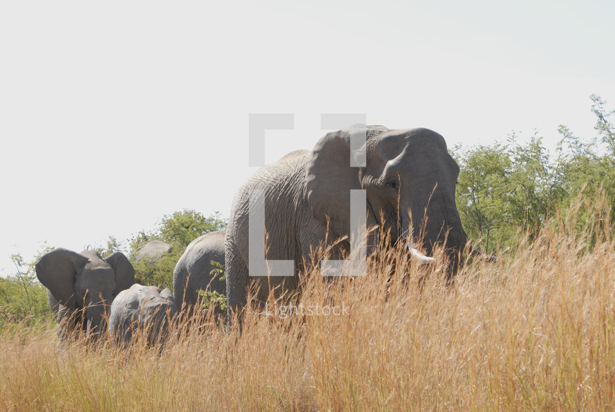 Elephants walking through grassy field with trees in the background.