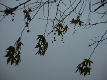 the last leaves on an autumn tree hanging on just before winter time sets in on a dark cloudy day.