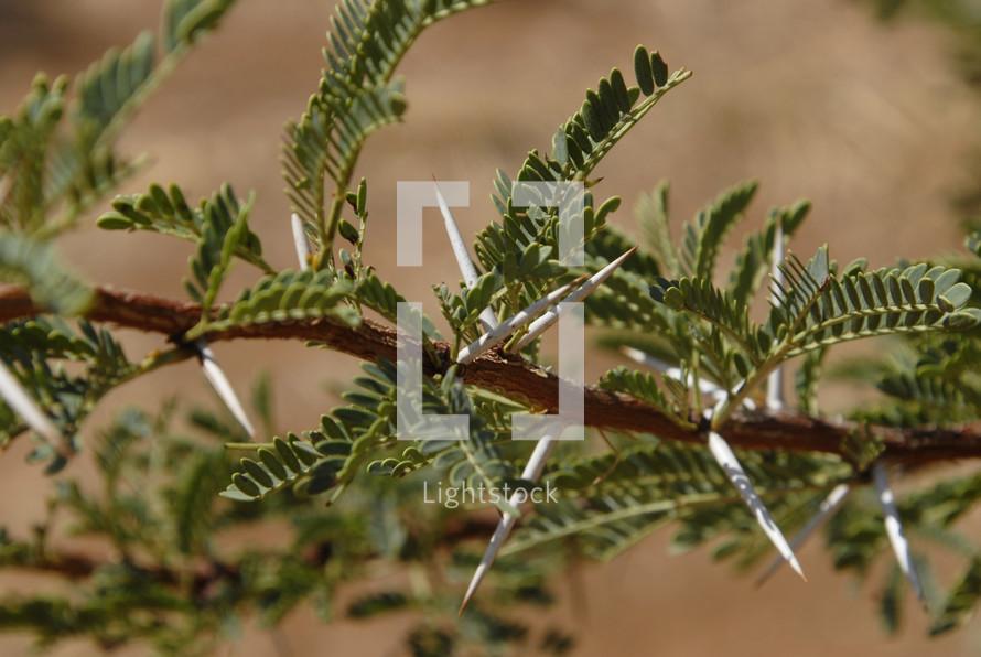 Acacia thorns on a tree