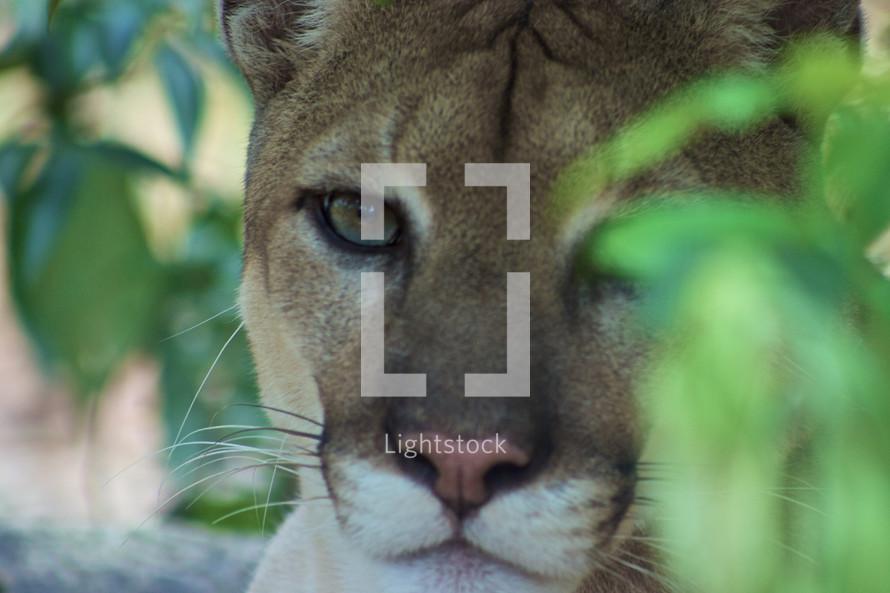 A close up view of a jaguar