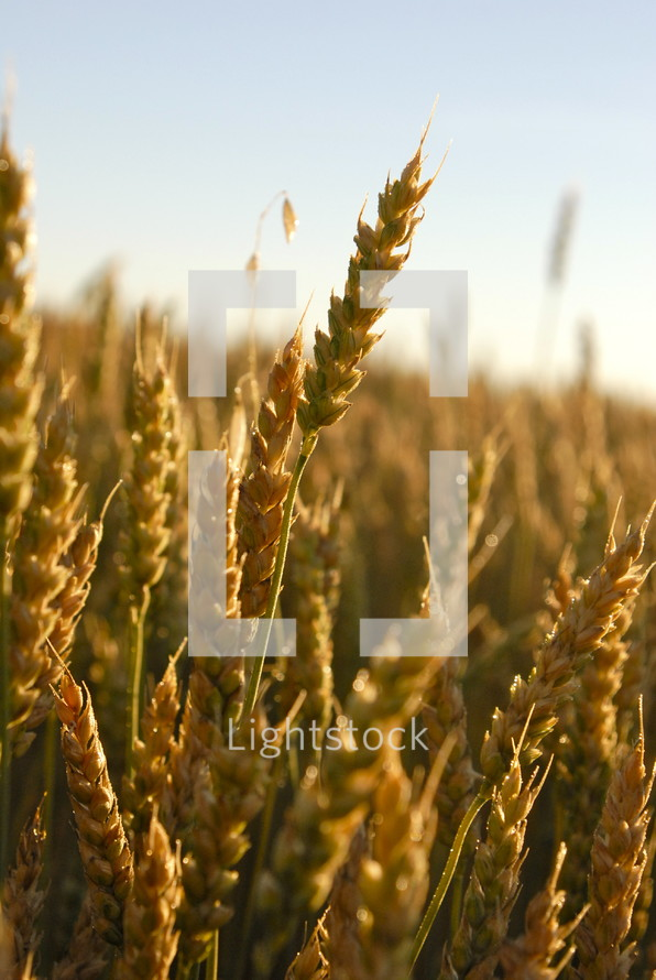 wheat grains. Autumn, fall, season, harvest, food, seed, crop, orange tares parable
