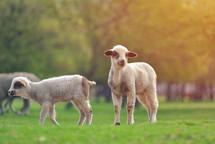 lambs in a field