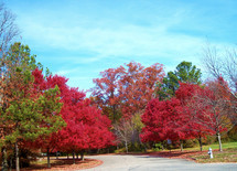 A group of colorful trees changing colors in the fall with vivid red, green and brown in stages of changing color in the fall in Virginia.