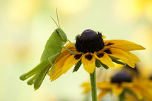 Juvenile slant-eyed grasshopper on black-eyed susan flower.