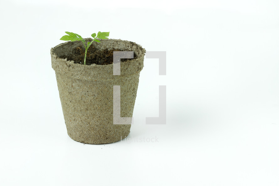 sprouting plant in a pot
