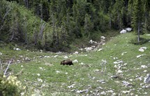a grizzly bear in the wild