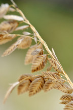 Sea oats, closeup.