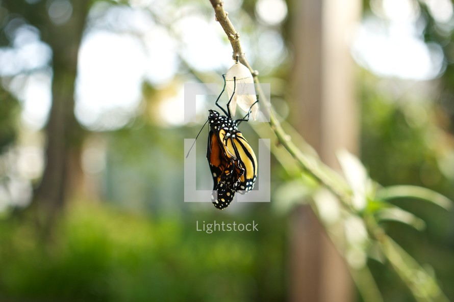 monarch butterfly emerging from a chrysalis