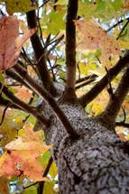 looking up at a fall tree