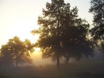 The morning misty frog surrounds a patch of trees in the woods in the rural country side at sunrise where the sun breaks up the fog shrouded trees that separate a meadow from the woods.