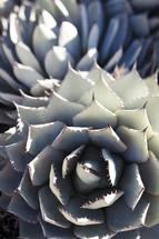 closeup of a succulent plant