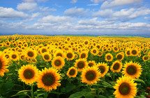 A field covered in yellow sunflowers beneath a blue sky and clouds.