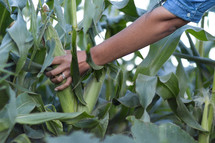 a woman picking corn from the field