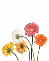 gerber daisies against a white background