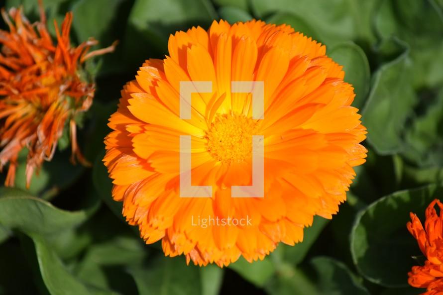 edible bright orange flower, Calendula, also known as pot marigold, edible