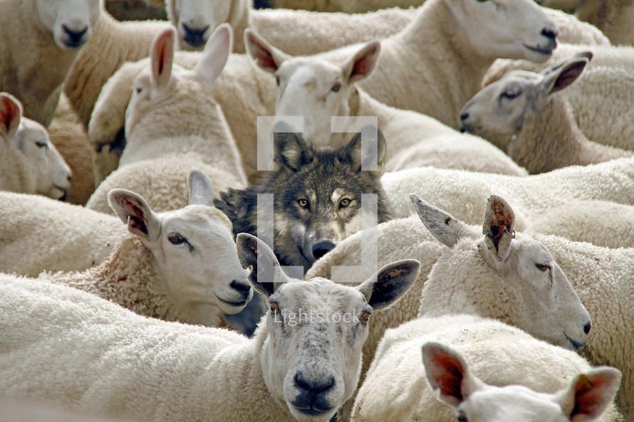 Wolf among the sheep