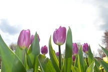 purple tulips in front of bright sky.