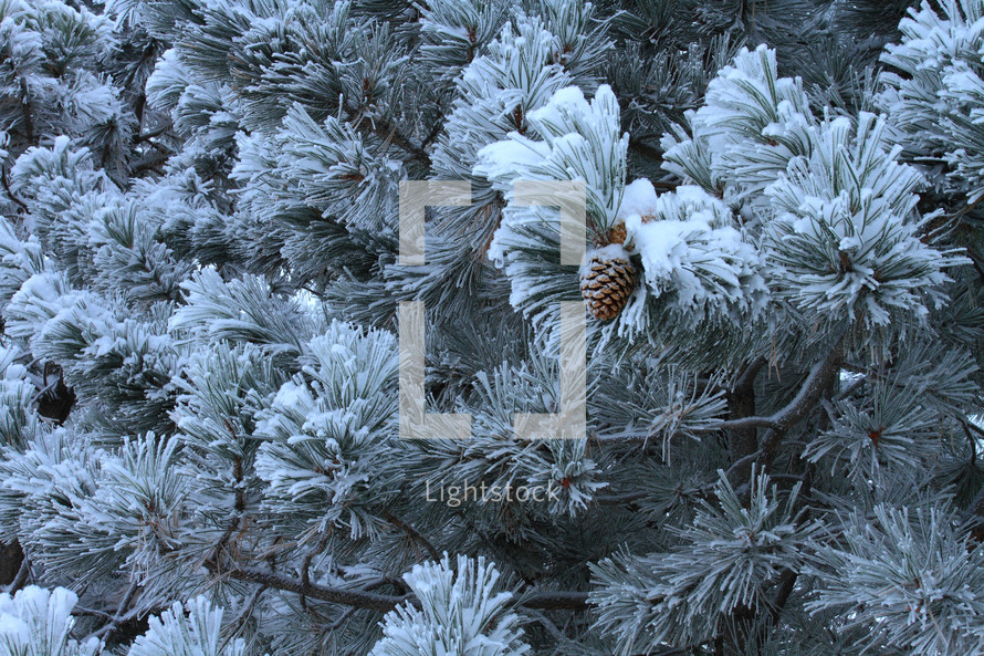Pinecone on snow-covered pine tree.