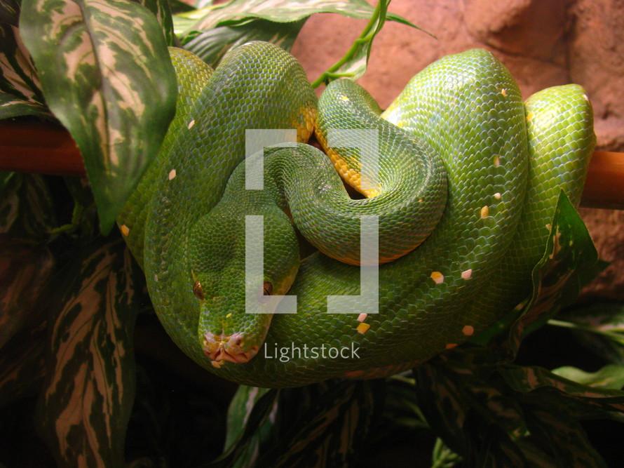 Coiled green snake.