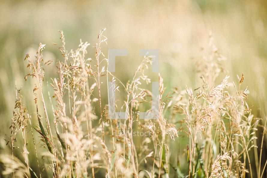 Wild grass lit by the sun.