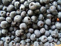 A group of blueberries recently picked from a blueberry farm in Florida.