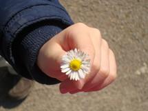 Hand holding a daisy flower.