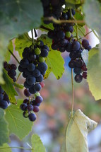 vines with fruits