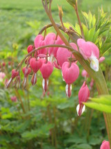 Bleeding heart flowers in a garden.