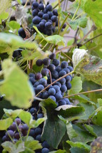 vines with fruits.  vines, vineyard, vine, tendril, leaf, leaves, tendril of vine, vine stock, branch, branches, hold, hold on, clutch, hang on, stay, remain, dwell, continue, keep, grow, growth, growing, fruit, fructiferous, fruit setting, bear, yield, grapes, grape, acreage, vineyard cultivation, cultivation, harvest, harvesting, rich, vintner, winegrower, wine grower, nature, natural, plant, plants, outdoor, fruits, ripe, mellow, mellowly, autumn, fall, crop