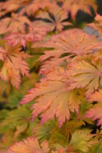 Colorful bright mono maple leaves at a tree in orange and red.