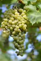 vines with fruits.