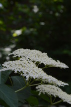 elderflower in front of dark background