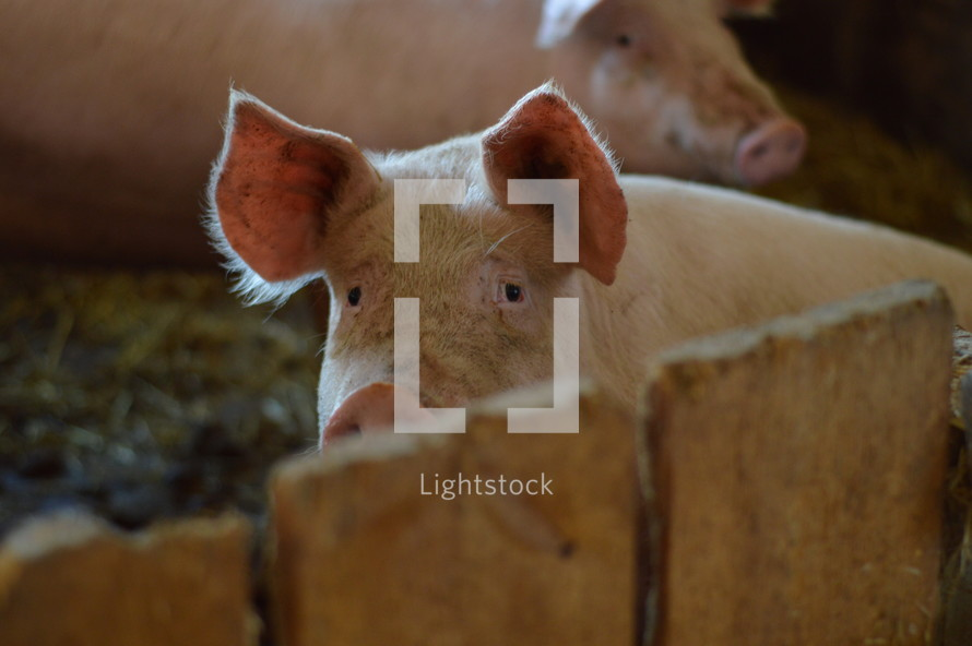 cute pigs in a pigsty as symbol for the prodigal son