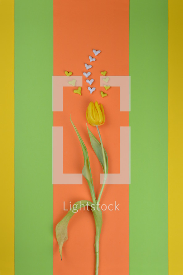yellow spring tulips and heart shaped stones