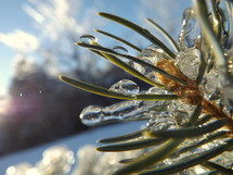 Ice on pine needles.