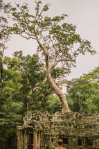 tree growing from the ruins of a temple in Cambodia