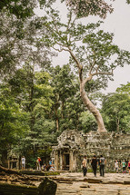 large tree and temple ruins in Cambodia