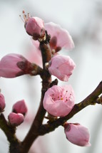 pink buds blooming at a peach tree in spring.