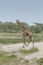 giraffe on the run