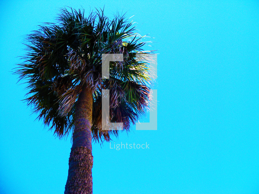 A tall palm tree against a blue sky on a bright and sunny day out in the open in a tropical breezy setting in Florida.